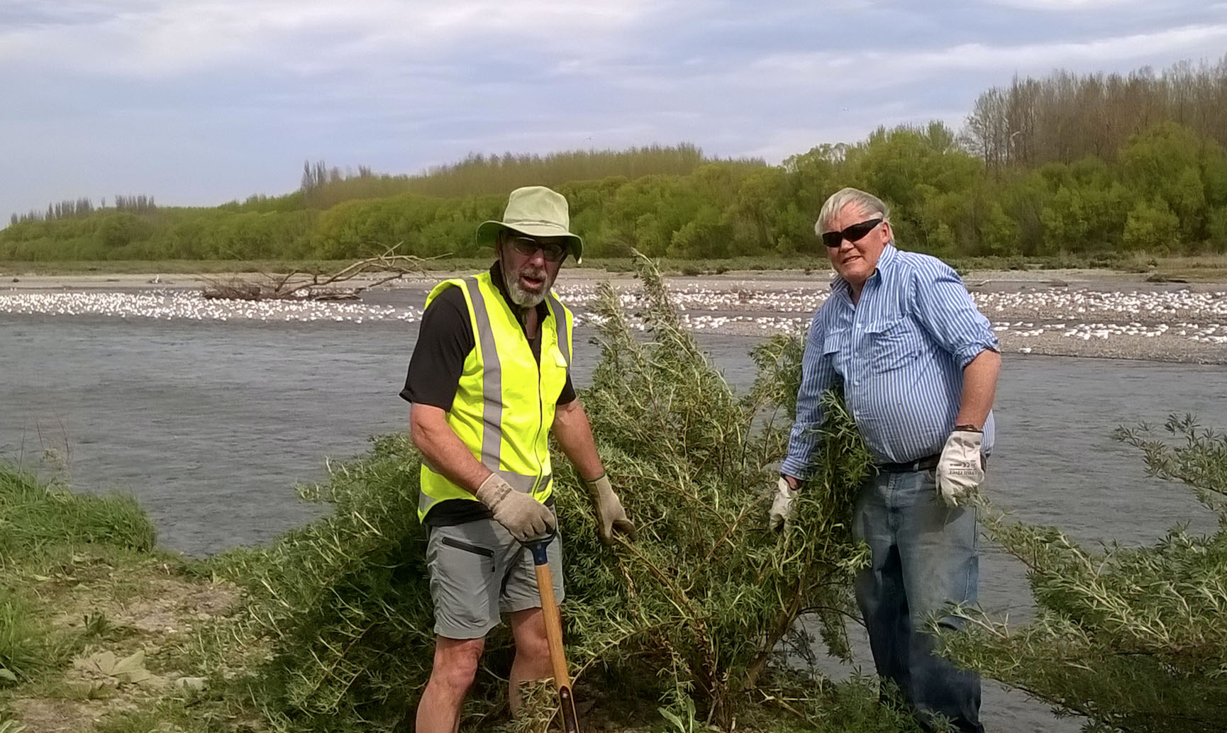 Pulling tree lupins on the Ashburton River. A colony of critically endangered back-billed gulls is trying to nest in the centre of the river. (The island was too low and flooding forced the birds to abandon their nest that year.) Photo: Don Geddes.