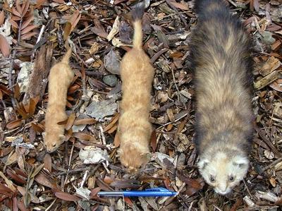 Left to right: weasel, stoat, ferret