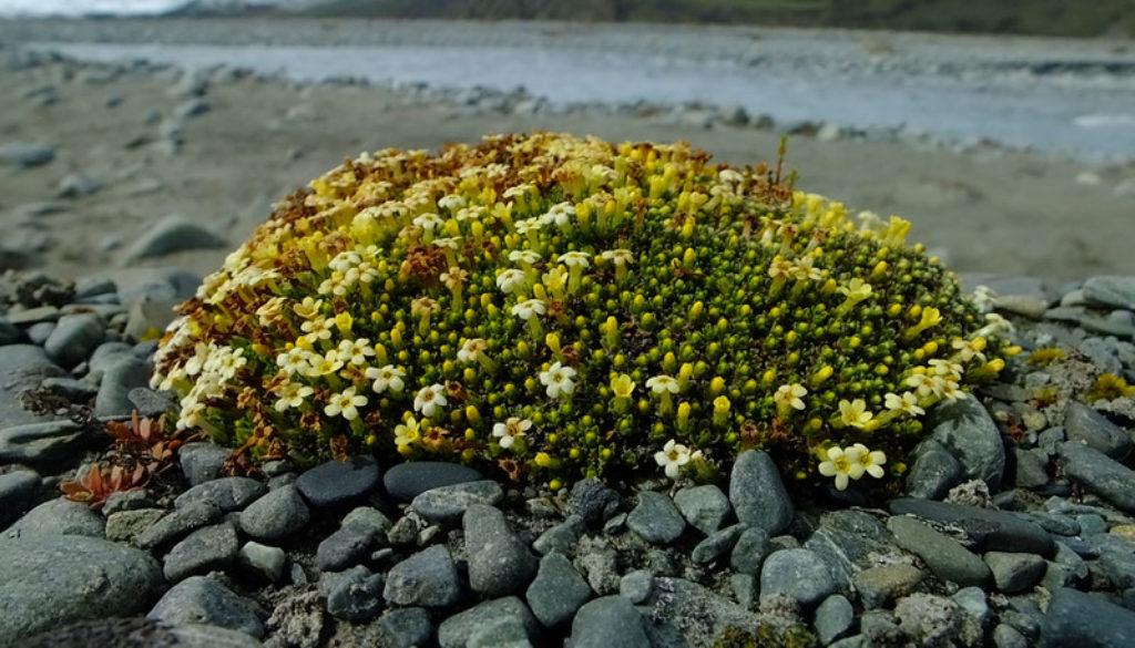 """Myosotis uniflora, S.Branch Ashburton River (Warren Jowett)"""