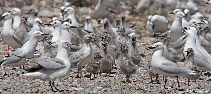 Black-billed gulls and chicks, the most threatened gull in the world, on the Conway River