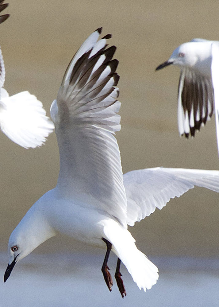 Black-billed gull: the most endangered gull in the world.
