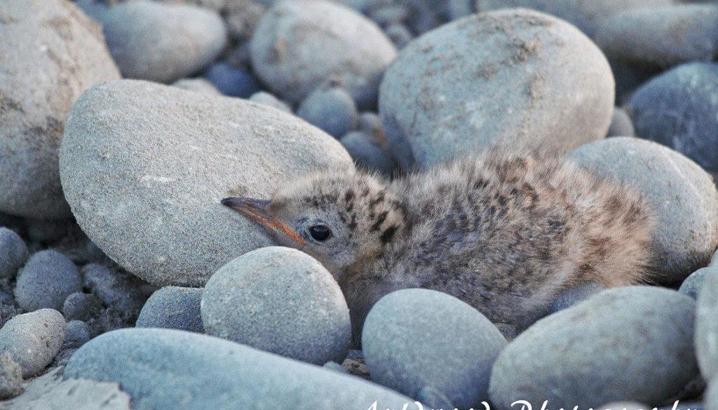 bf-tern-chick-waimak-1024x683