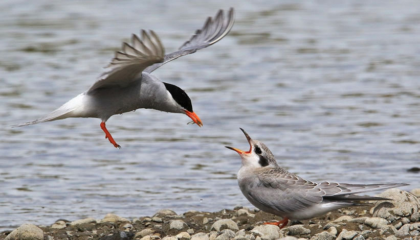 black fronted tern and chick ashley river