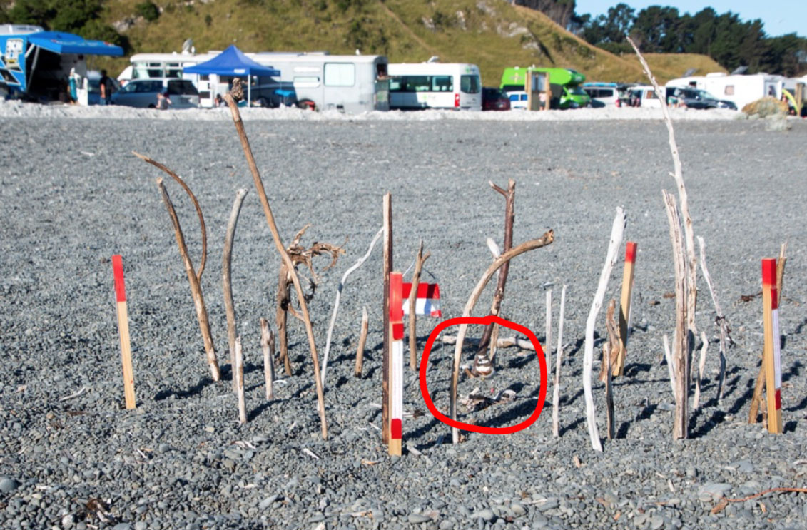 The council encourage freedom campers to use the beach, in spite of the nesting dotterels.