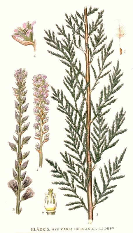 False tamarisk from Carl Lindman's book: Bilder ur Nordens Flora: 1905