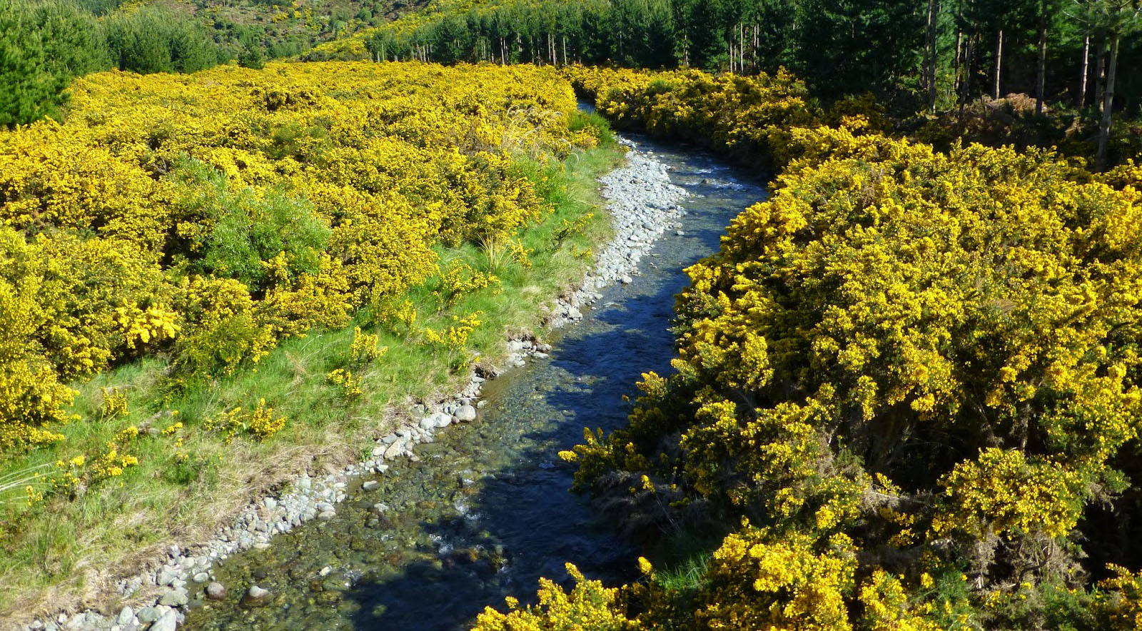 Gorse infestation along riverbed, destroying the river's natural characteristics