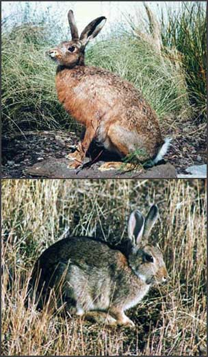 Hare (top) and rabbit (bottom)