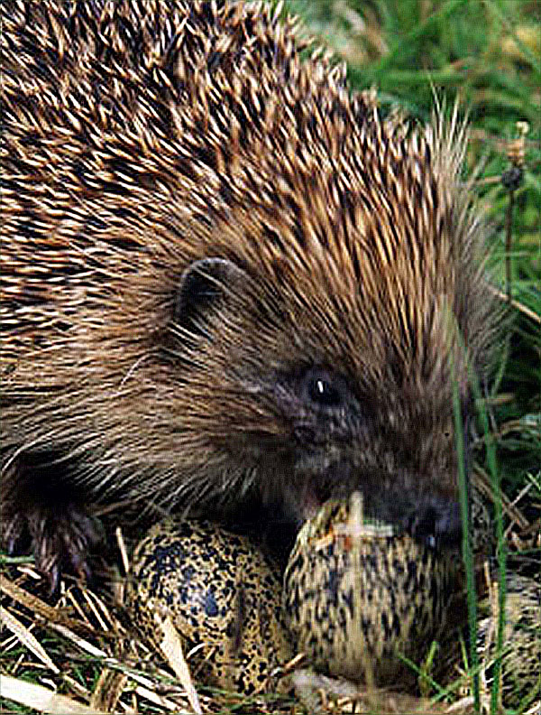 Hedgehog eating eggs