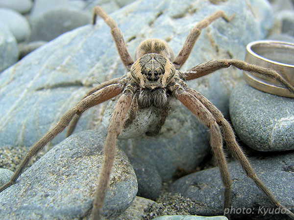 Female Dolomedes aquaticus with egg sac. The cocoon is globular, and is carried under the sternum, to which it is firmly held by the palpi and strands of web from the spinners. Photo: cc licence Wikipedia