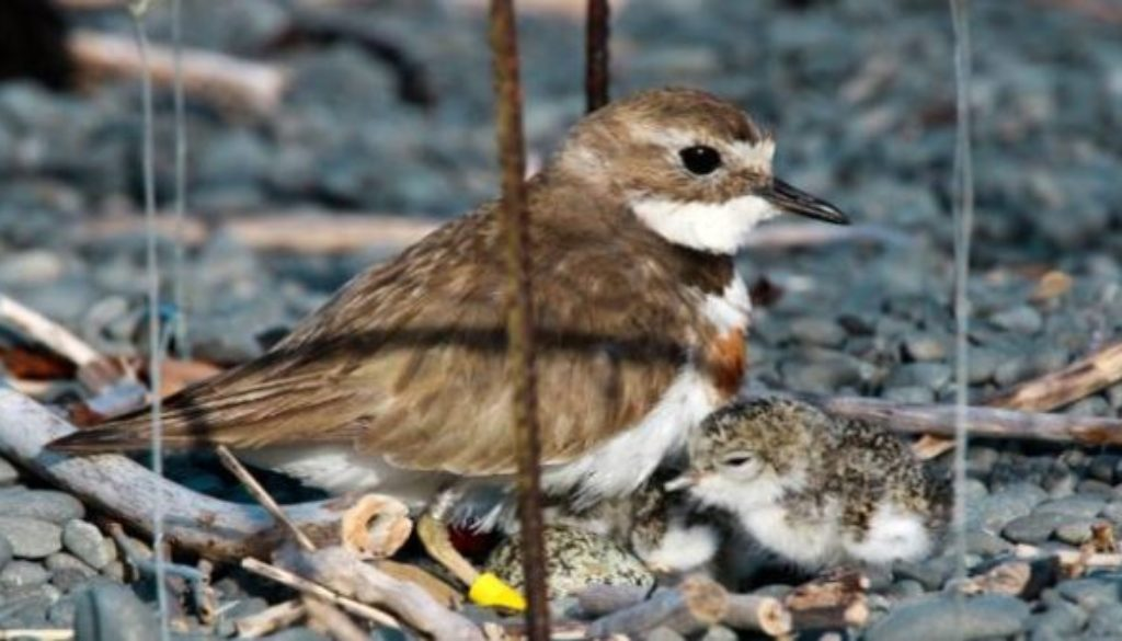 nesting-cage-banded-dotterel-600x338
