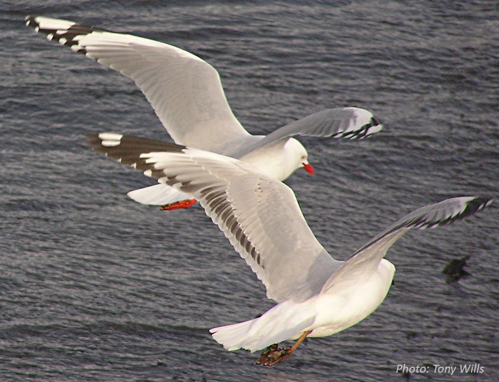 redbill_fly