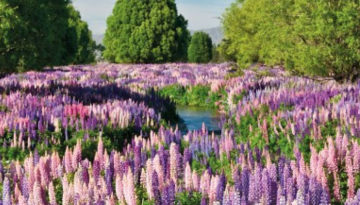 russelll lupins destorying braided rivers