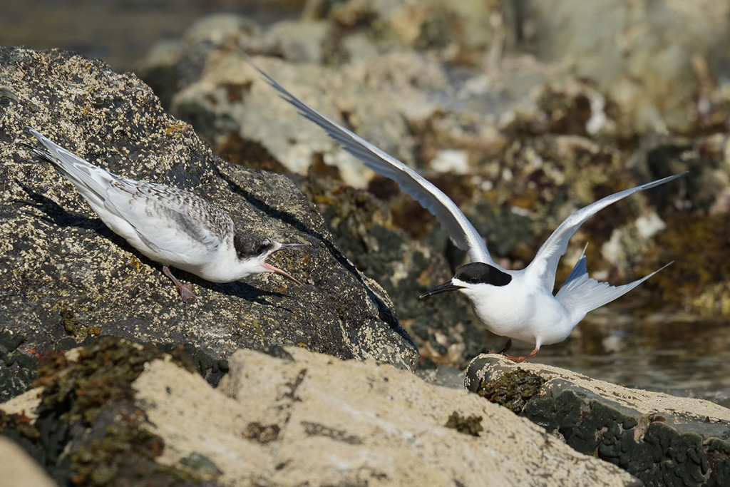 White-fronted tern with juvenile