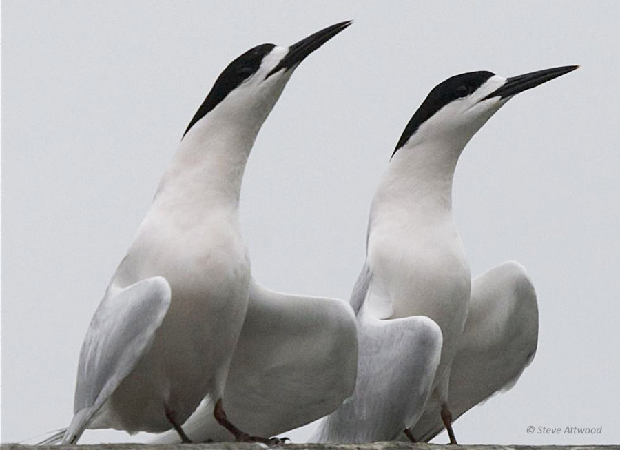 White-fronted terns courting