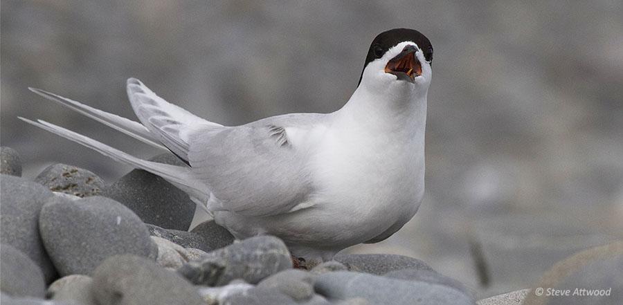 White-fronted tern guarding nest, Waimakariri River
