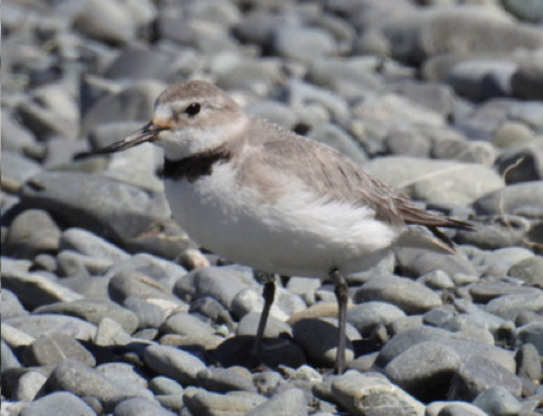 The wrybill's bent beak makes it a rarity in the bird world. Numbers are now down to around 5,000.